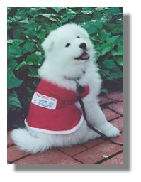Photo of service dog, Tory, as a pup wearing a service dog vest